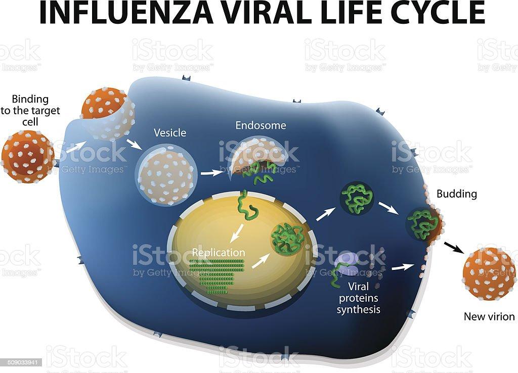 Influenza Virus Replication Cycle vector art illustration