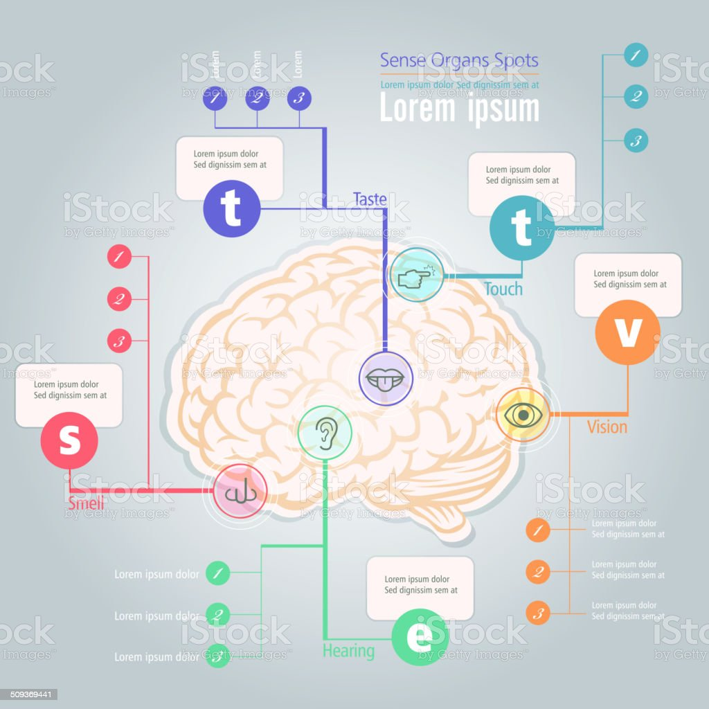 Info Graphic Of Sense Organs Spot In Human Brain Stock Vector Art ...