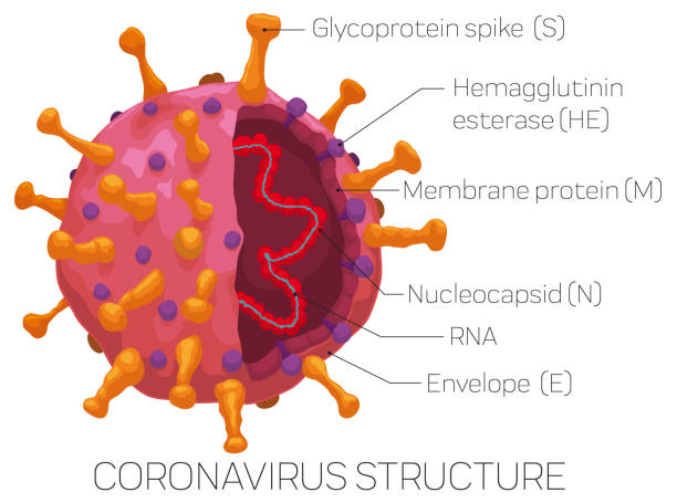 Infographic Depicting the External and Internal Coronavirus Structure Infographic with Coronavirus sliced showing its parts, detailed for a easy recognition of this virus: glycoprotein spike, hemagglutinin esterase, membrane protein, envelope, nucleoprotein and RNA. sudden acute respiratory syndrome stock illustrations