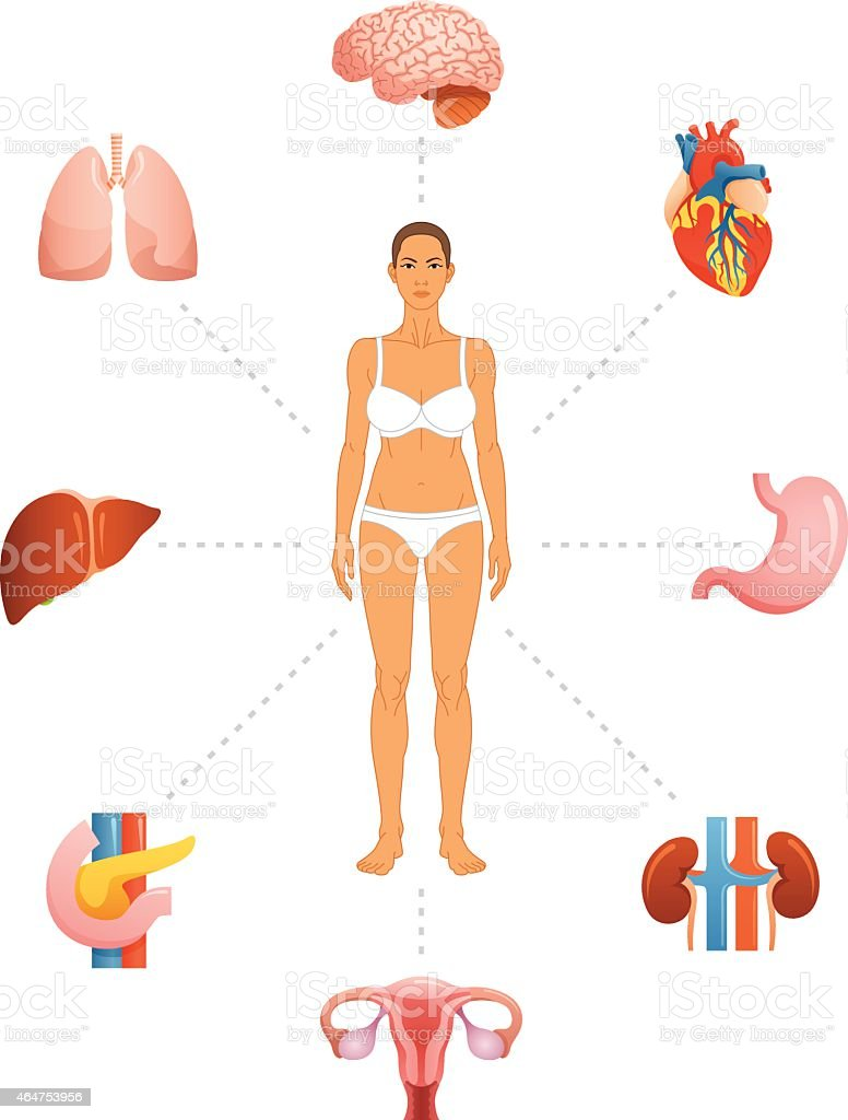 Infographic For Female Anatomy With Body And Organs Stock Vector Art