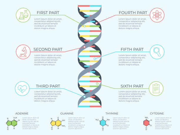 DNA infographic. Genetic spiral, genomic model molecule diagram and adn pattern structure chart vector concept illustration DNA infographic. Genetic spiral, genomic model molecule diagram and adn pattern structure chart. Medicine molecular rna, chromosome infographics or dna gene scientific vector concept illustration genetic research stock illustrations