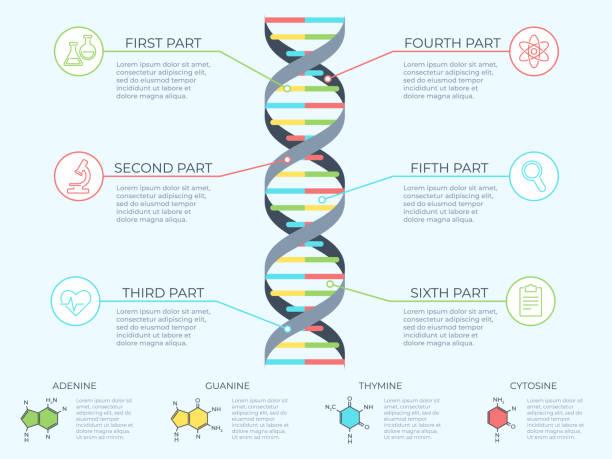dna 資訊圖。遺傳螺旋、基因組模型分子圖和模式結構圖向量概念例證 - dna 幅插畫檔、美工圖案、卡通及圖標