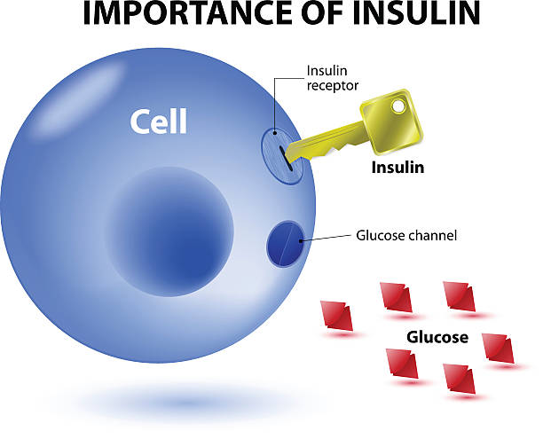 Infographic illustration of the importance of insulin insulin acts as the key which unlocks the cell to allow glucose to enter the cell and be used for energy. Insulin is a hormone secreted by the pancreas in response to elevated blood levels of glucose. biological process stock illustrations
