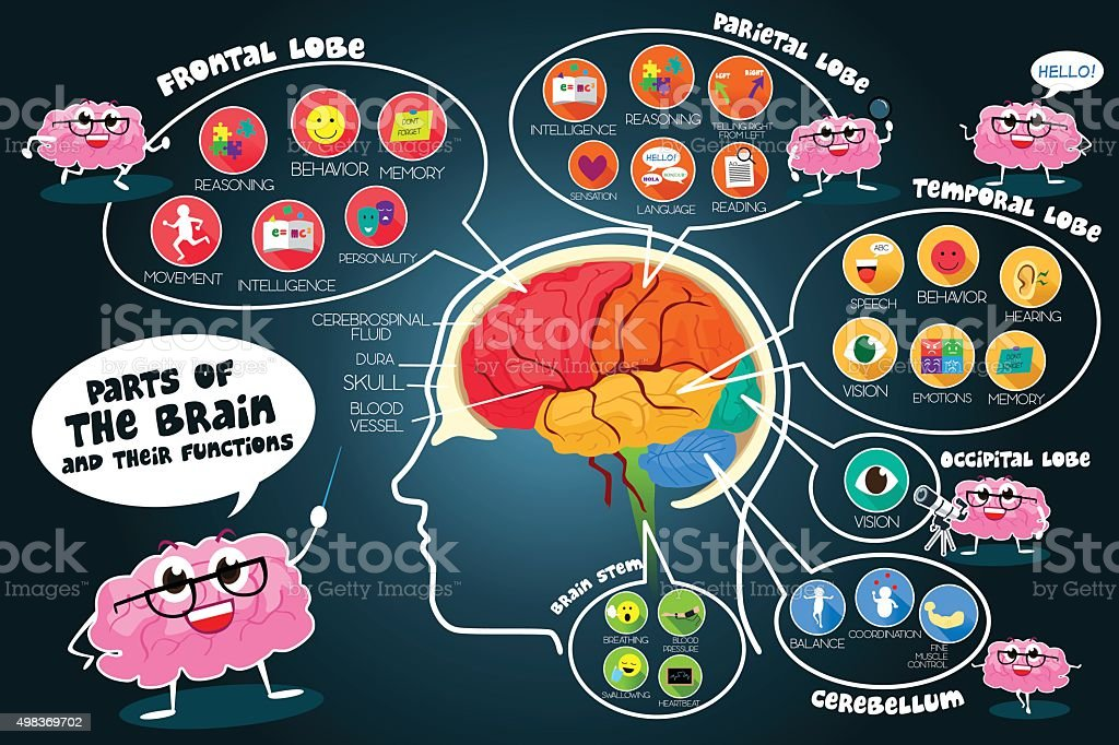 Infographic Parts and Functions of Brain vector art illustration