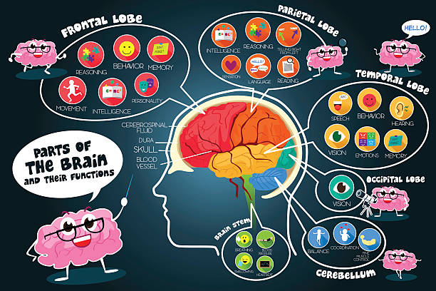 Infographic Parts and Functions of Brain A vector illustration of infographic parts and functions of brain temporal lobe stock illustrations