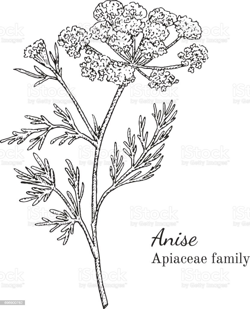 Ink anise hand drawn sketch vector art illustration