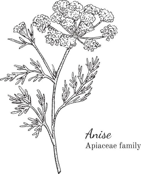 Ink anise hand drawn sketch vector art illustration