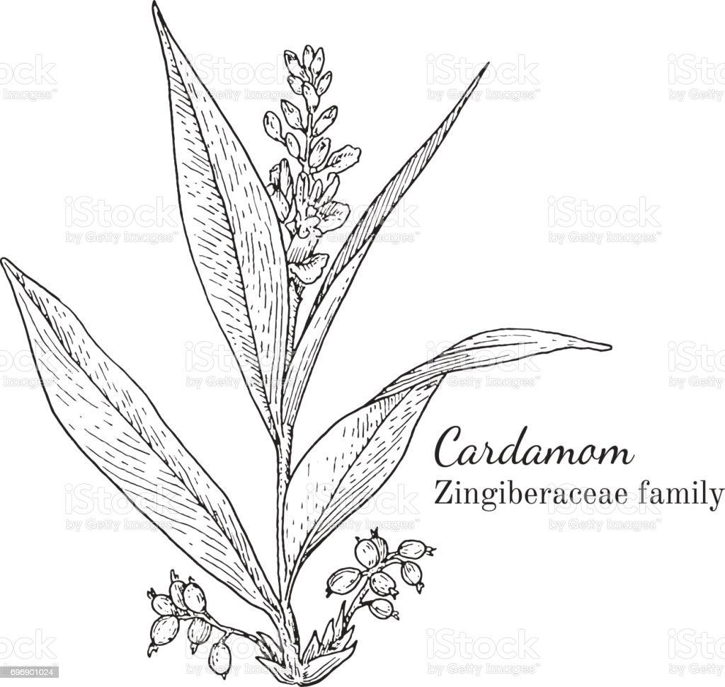 Ink cardamom hand drawn sketch vector art illustration