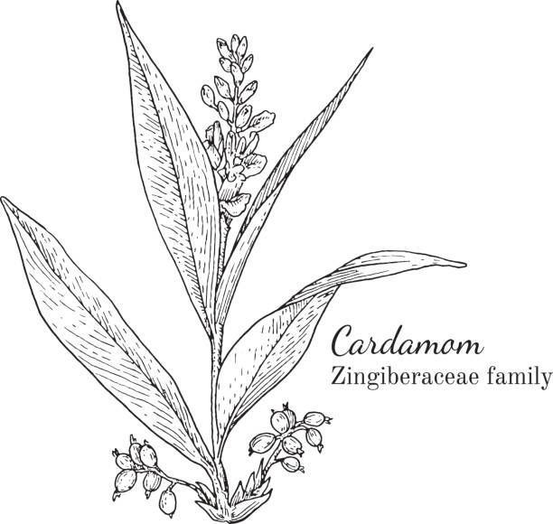 Ink cardamom hand drawn sketch Ink cardamom herbal illustration. Hand drawn botanical sketch style. Absolutely vector. Good for using in packaging - tea, condinent, oil etc - and other applications cardamom stock illustrations