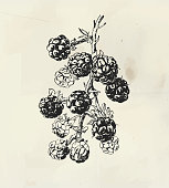 Ink drawn branch with blackberry fruits. Raspberry vintage illustration