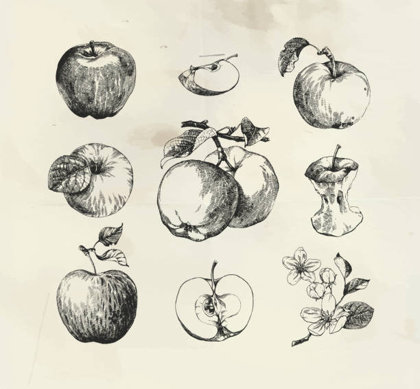 Ink drawn collection of apples Ink drawn collection of apples, apple with leaves and apple fruit blossom apple blossom stock illustrations