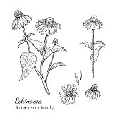 Ink echinacea herbal illustration. Hand drawn botanical sketch style. Absolutely vector. Good for using in packaging - tea, condinent, oil etc - and other applications