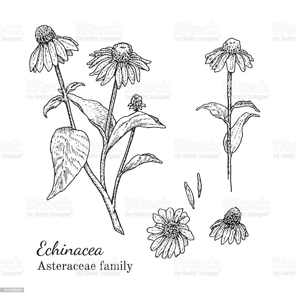 Ink echinacea hand drawn sketch vector art illustration