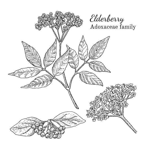 ink elderberry hand drawn sketch - holunderstrauch stock-grafiken, -clipart, -cartoons und -symbole