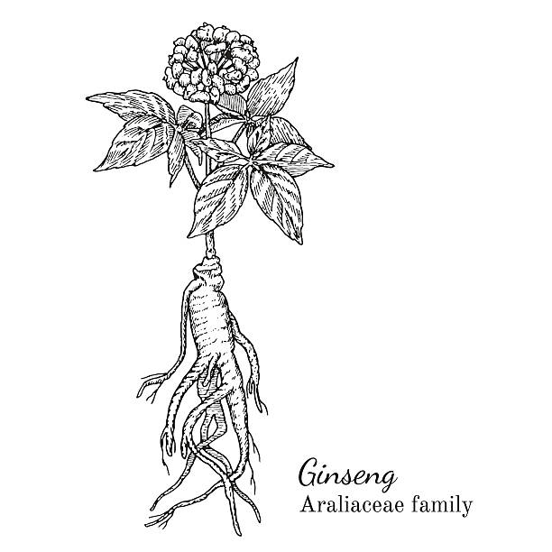 Ink ginseng hand drawn sketch Ink ginseng herbal illustration. Hand drawn botanical sketch style. Absolutely vector. Good for using in packaging - tea, condinent, oil etc - and other applications love potion stock illustrations