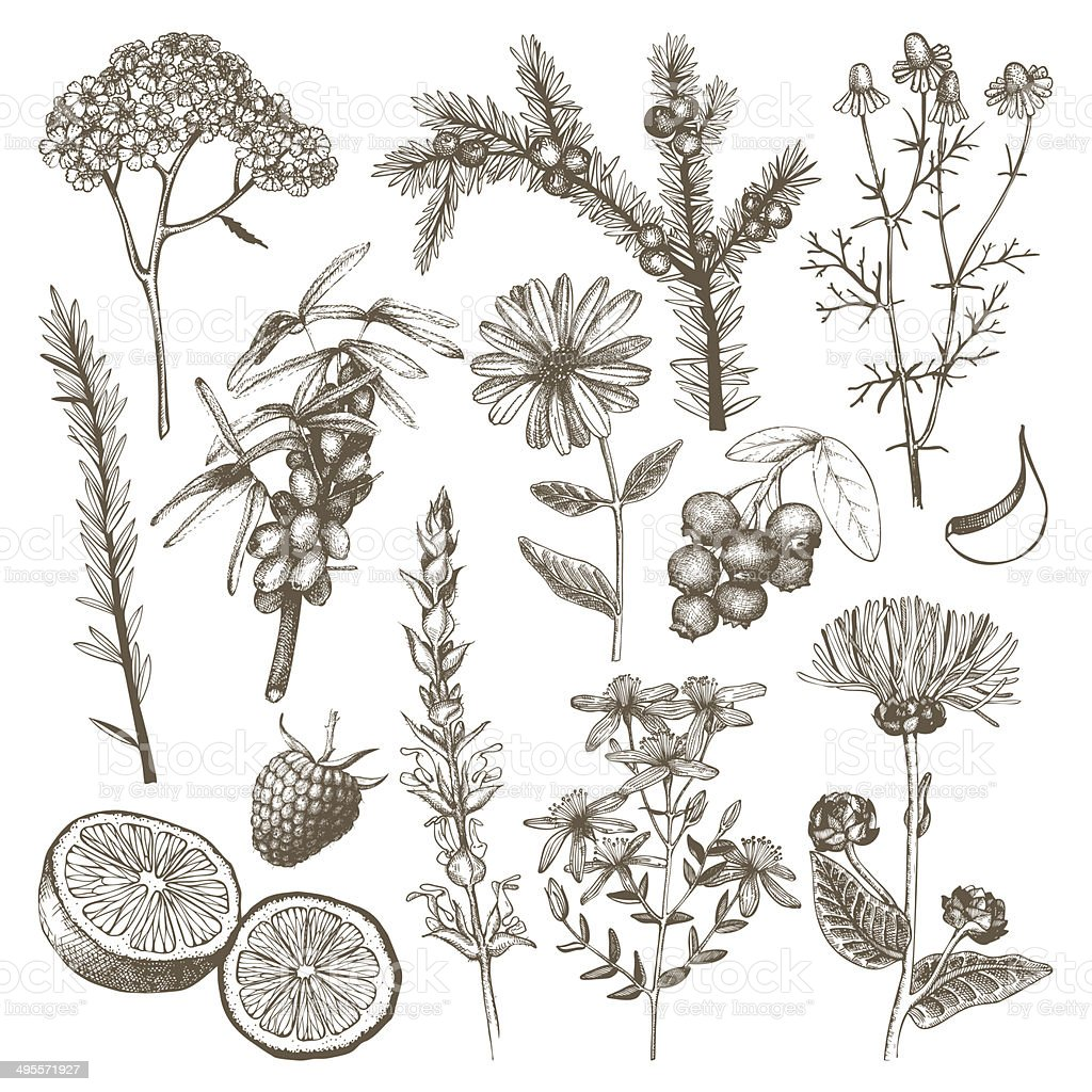 Ink hand drawn medicinal herbs vector art illustration