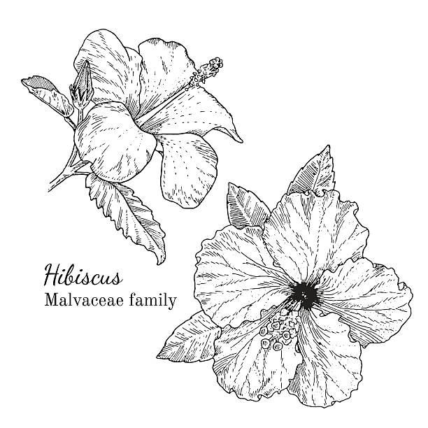 ink hibiscus hand drawn sketch - hibiskusgarten stock-grafiken, -clipart, -cartoons und -symbole