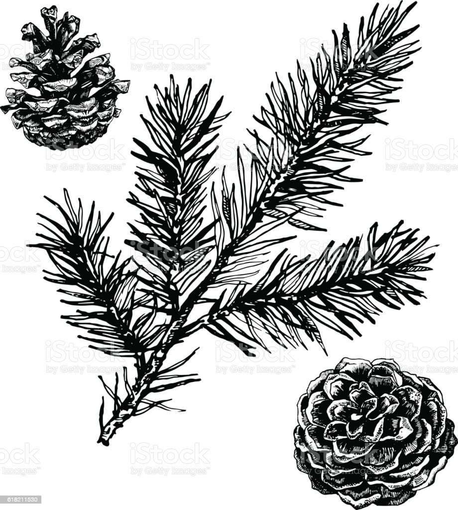 Ink illustration of pine cones and coniferous branch. vector art illustration