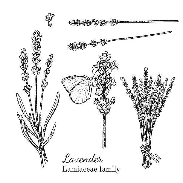 bildbanksillustrationer, clip art samt tecknat material och ikoner med ink lavender hand drawn sketch - lavender engraving