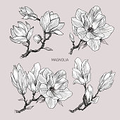 Magnolia flowers drawing. Vector, illustration and clip art on white backgrounds. Idea for business visit card, typography vector, logo.
