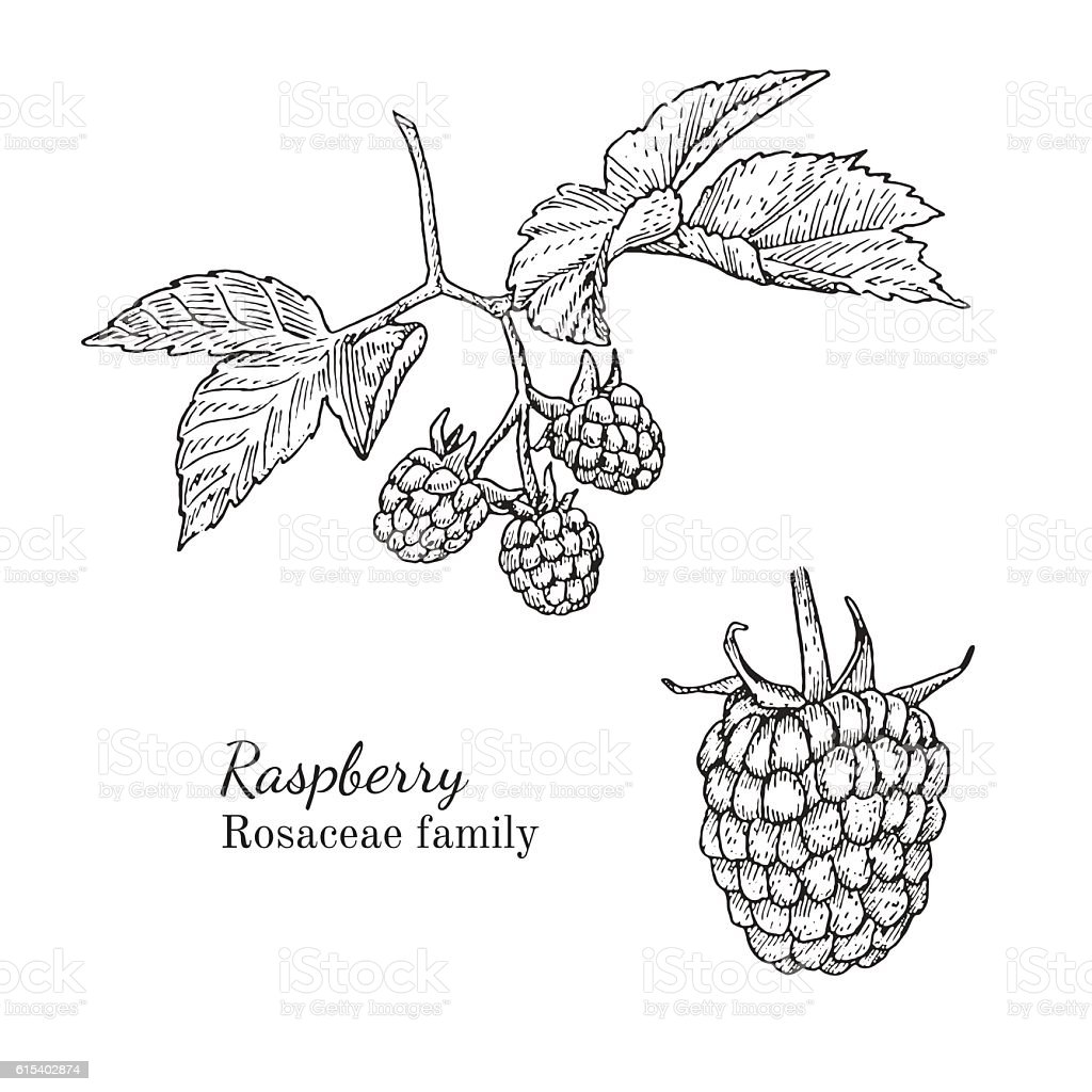 Ink raspberry hand drawn sketch vector art illustration