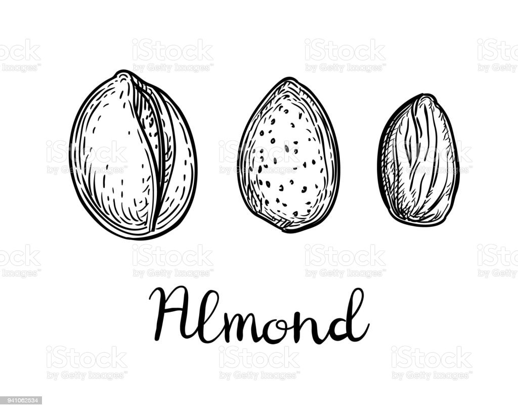 Ink sketch of almond. vector art illustration