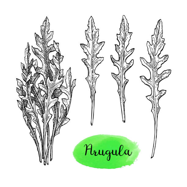 Ink sketch of arugula. Ink sketch of arugula. Isolated on white background. Hand drawn vector illustration. Retro style. arugula stock illustrations