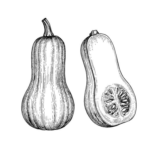 tinte-skizze der butternut-kürbis - flaschenkürbis stock-grafiken, -clipart, -cartoons und -symbole