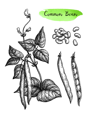 Ink sketch of common bean