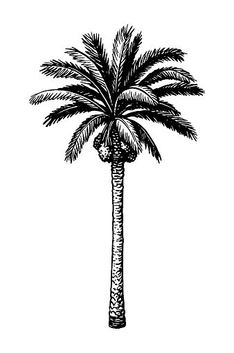 Ink sketch of date palm.