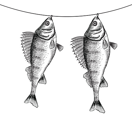 Ink sketch of dried solty perch (bass) on rope.