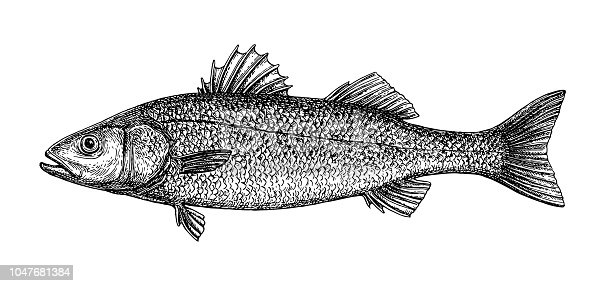 Ink sketch of sea bass. Hand drawn vector illustration of fish isolated on white background. Retro style.