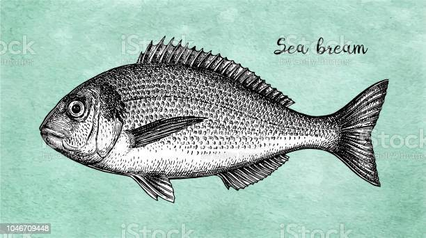 Ink sketch of gilthead sea bream vector id1046709448?b=1&k=6&m=1046709448&s=612x612&h=6diyikjovvzoq1wv s8ene avd7syljsdqt7sd8jgf8=