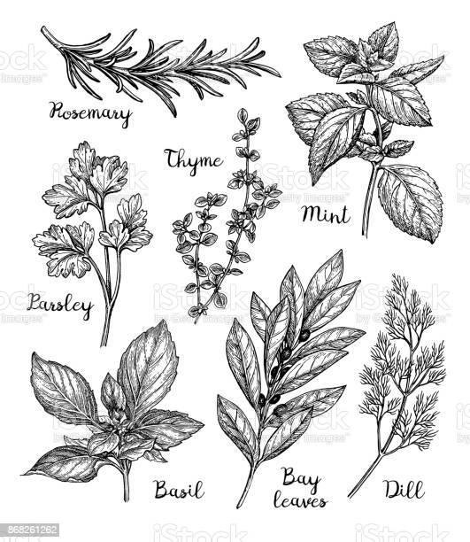 Ink sketch of herbs vector id868261262?b=1&k=6&m=868261262&s=612x612&h=cmijiurjyq5jxpaaqxe tqrlxklnufexmkbbzlt 6qs=