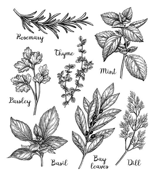 ink sketch of herbs - лекарственная трава stock illustrations