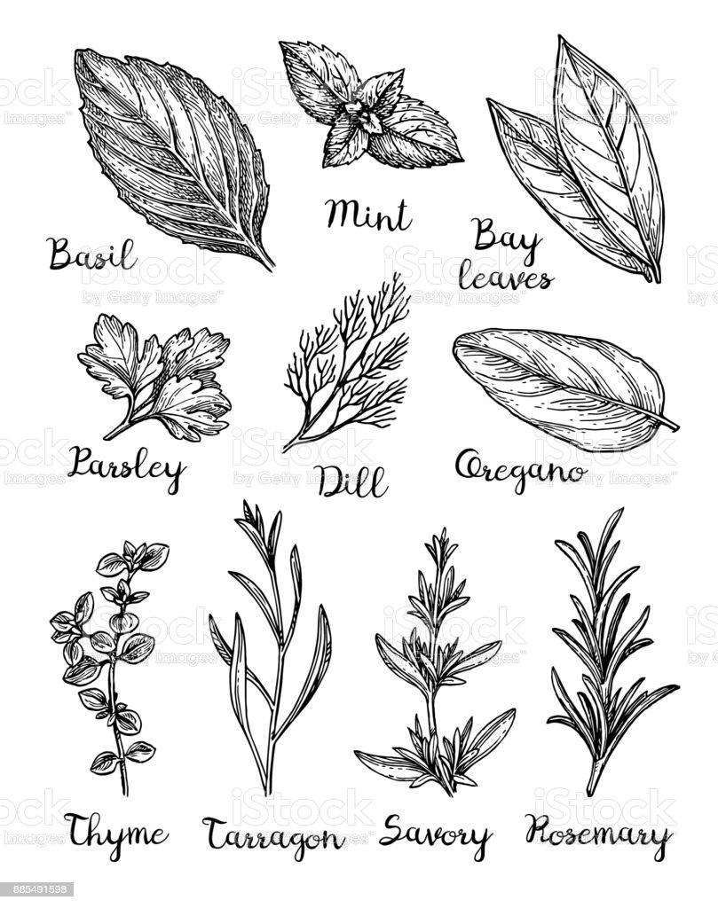 Dibujo tinta de hierbas. - ilustración de arte vectorial