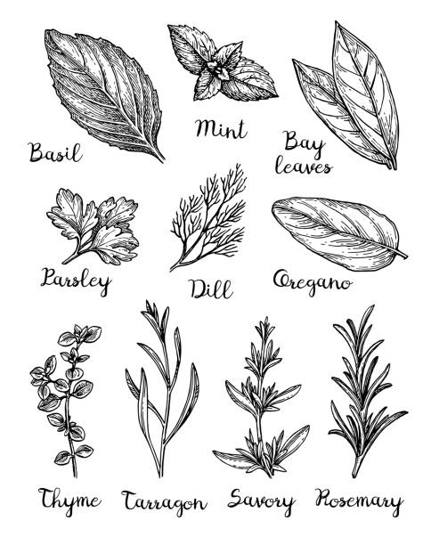 ink sketch of herbs. - лекарственная трава stock illustrations