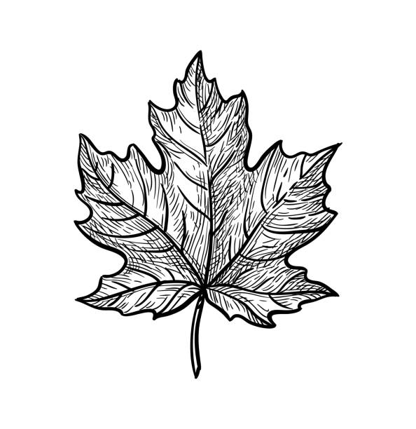Ink sketch of maple leaf. Ink sketch of maple leaf. Hand drawn vector illustration isolated on white background. Retro style. maple leaf stock illustrations