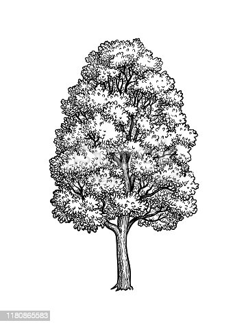 istock Ink sketch of Maple tree. 1180865583