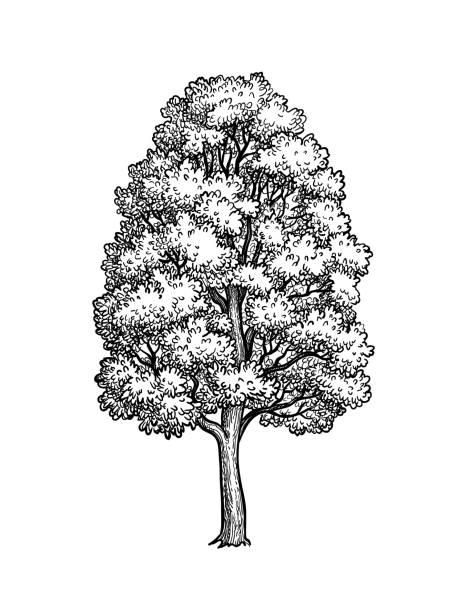 bildbanksillustrationer, clip art samt tecknat material och ikoner med bläck skiss av lönnträd. - ancient white background