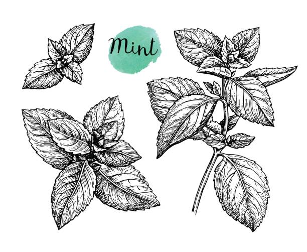 Ink sketch of mint. Ink sketch of mint. Isolated on white background. Hand drawn vector illustration. Retro style. mint leaf culinary stock illustrations
