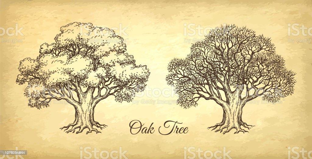 Ink Sketch Of Oak Tree Stock Illustration - Download Image Now