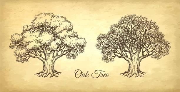stockillustraties, clipart, cartoons en iconen met ink schets van eik. - houtgravure