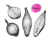 Ink sketch of onion isolated on white background. Hand drawn vector illustration. Retro style.