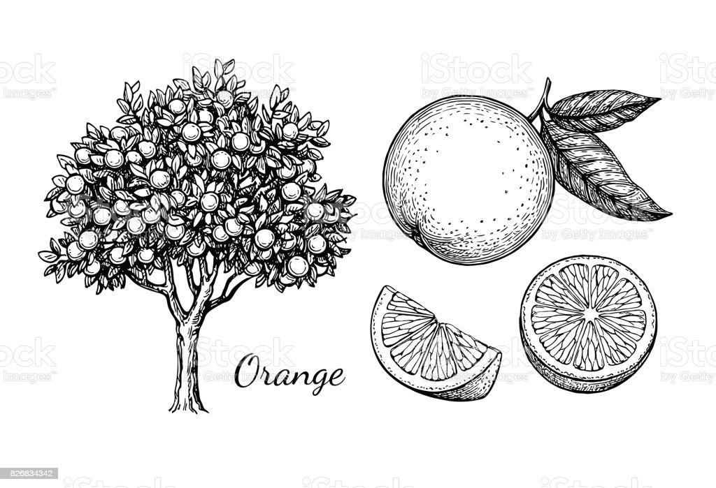 Ink sketch of orange vector art illustration
