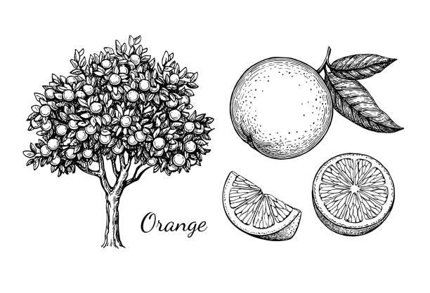ilustrações de stock, clip art, desenhos animados e ícones de ink sketch of orange - orange