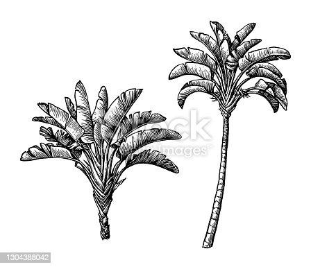 istock Ink sketch of ravenala palm. 1304388042