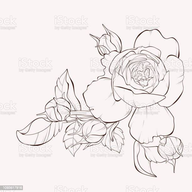 Ink sketch of rose flower vector id1093617916?b=1&k=6&m=1093617916&s=612x612&h=fxif14zsz6eomvsyt0bqbx bpm7ozg i3h4scbr0mr4=