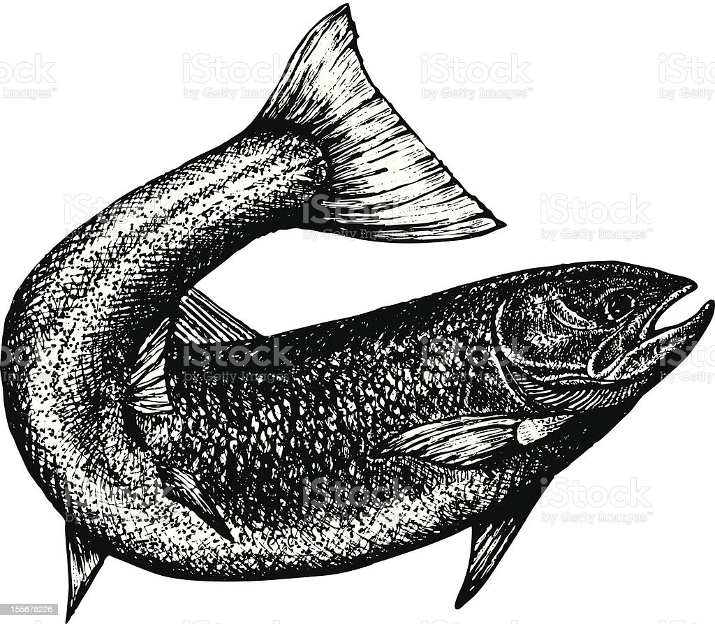 Ink sketch of salmon with curved tail vector art illustration