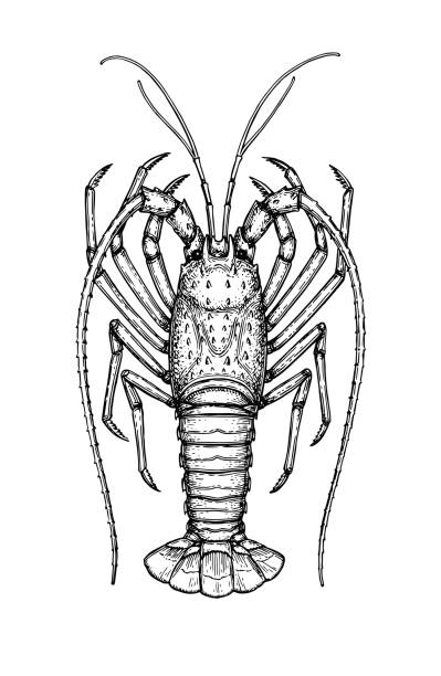 Royalty Free Spiny Lobster Clip Art, Vector Images